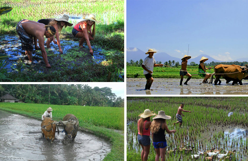 balinese traditional farming - the bali channel
